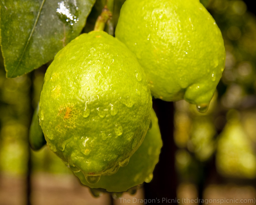 close up of lemons on trees with raindrops